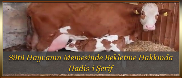 Sütü Hayvanın Memesinde Bekletme Hakkında Hadis-i Şerif
